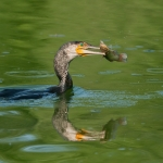 Cormorano con preda (pesce gatto)