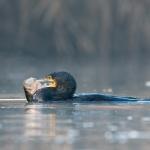 Cormorano con preda (persico)