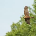 Falco di palude (f)