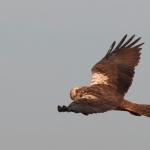 Falco di palude (femmina)