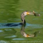 cormorano-con-pesce-gatto-quad